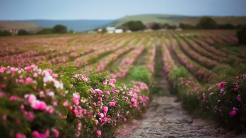 Study Says Flower Pesticides Linked To High Blood Pressure In Kids
