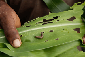 Fall Armyworm insect