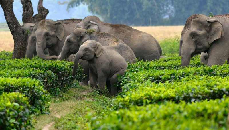 Experts at work to mitigate man-elephant conflict in Tripura