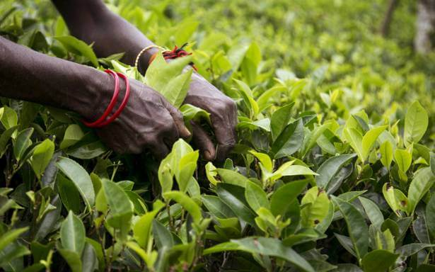 India's tea exports increase 11.5% in April