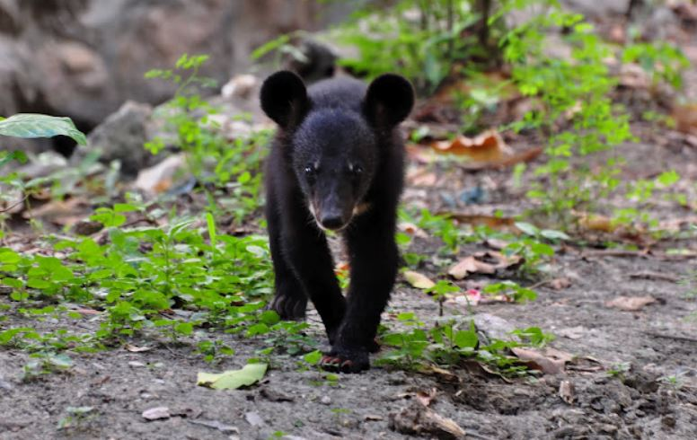 Asiatic Black Bear Cub Rescued In Lower Dibang Valley District, Arunachal