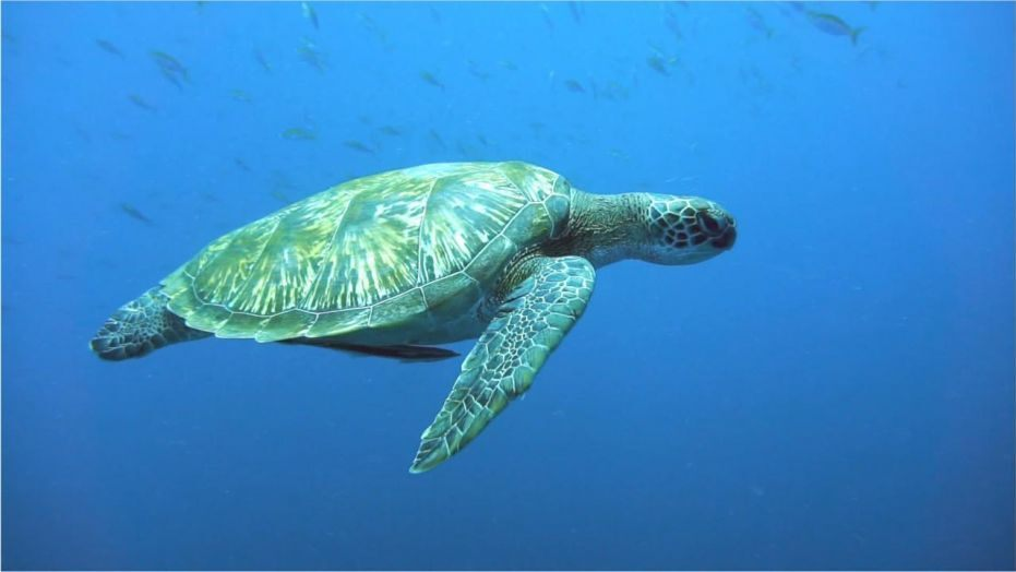 Green turtles eating plastic as it resembles their food