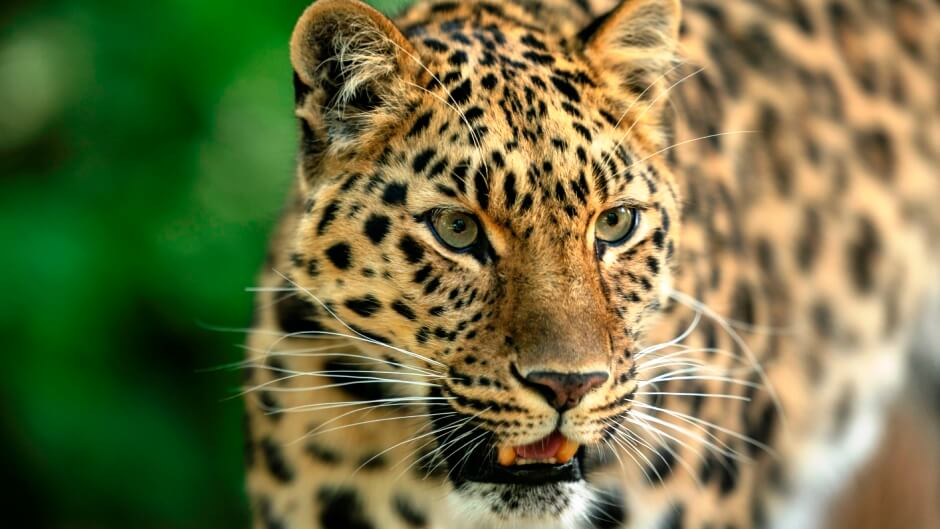 Leopard Attacks Tea Workers at Sokalating Tea Estate in Jorhat