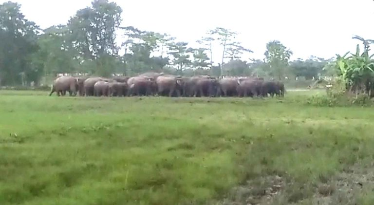 Herd of Elephants run riot in Majuli, Many residences destroyed