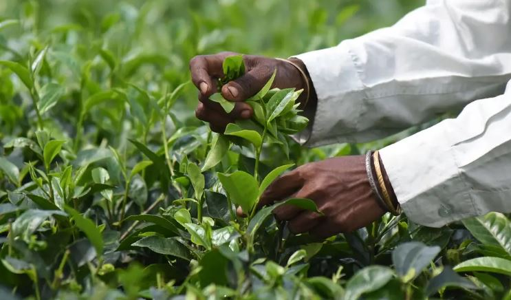 Training for Small Tea Growers at Manu Valley Tea Estate in Tripura
