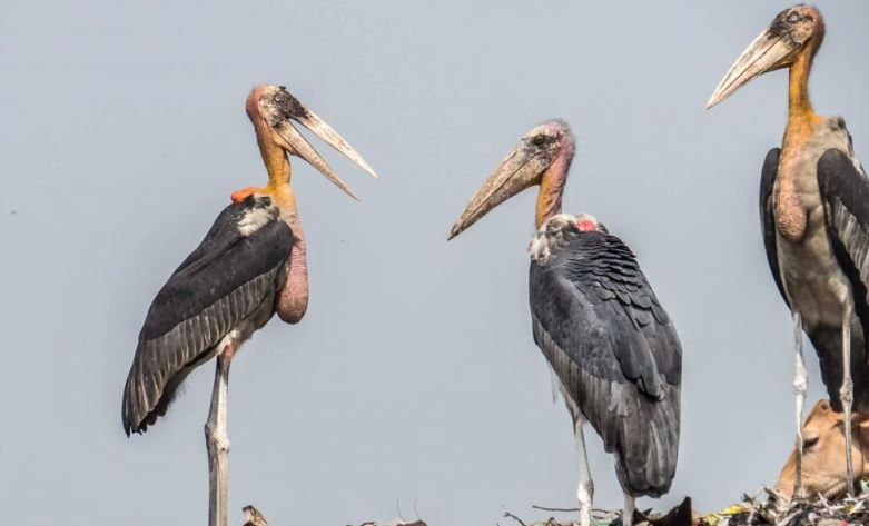 Nature's Carrion Eater Greater Adjutant Stork's Habitats Diminishing across Assam