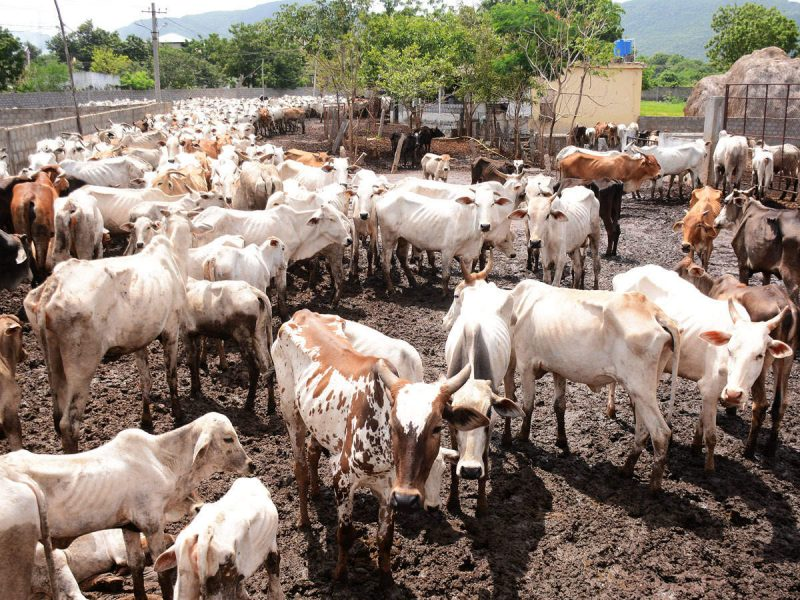 Cattle Population Increased by 18%  Across the Country