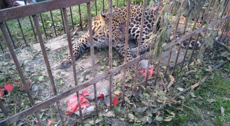 Leopard Trapped at Saruchorai Tea Estate, Jorhat