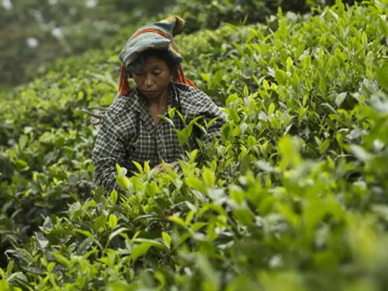 SBI of NE Circle to Facilitate Wage Payment to Tea Estate Staff