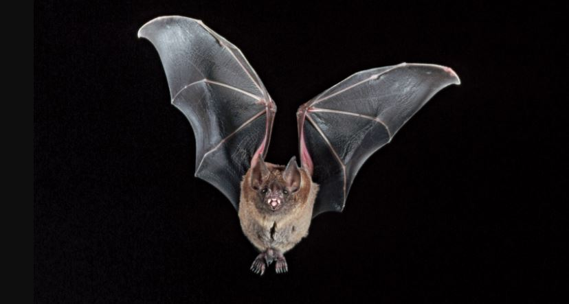 Bats in Nagaland may carry filoviruses: Study