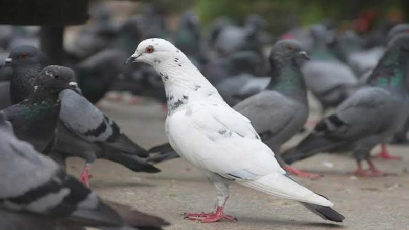 Pakistanis fly into tizzy over their pigeons' love for India