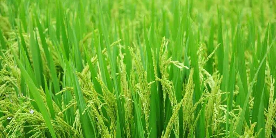 Punjab reducing dependence on paddy cultivation