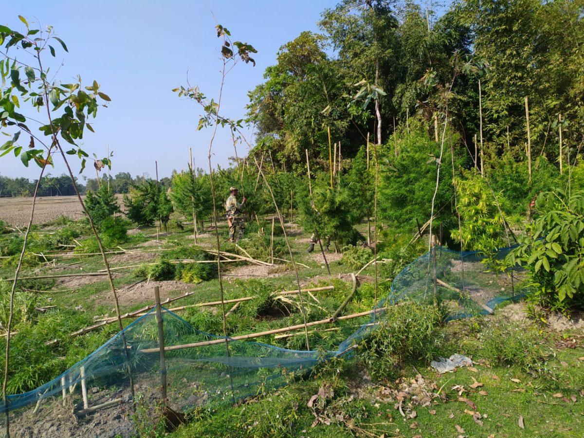 BSF & Police destroyed illegal cultivation of Hemp (Ganja) in Coochbehar