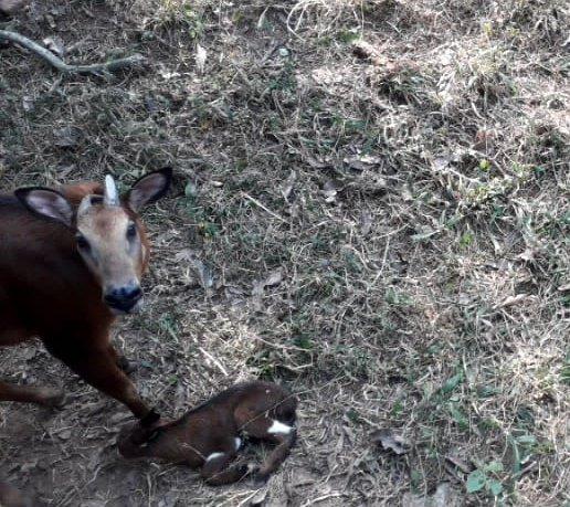 Himalayan serow calf