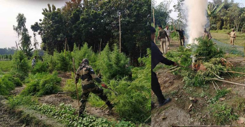BSF Troops destroyed illegal cultivation of Hemp in a joint operation in Coochbehar