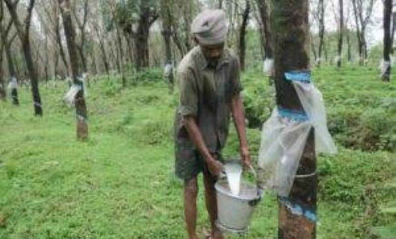 Tripura Moves to take action against illegal rubber growers