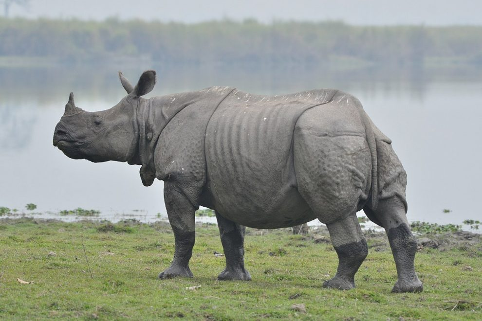 Baby Rhinos birth in Manas National Park gives boost to conservation effort in the region