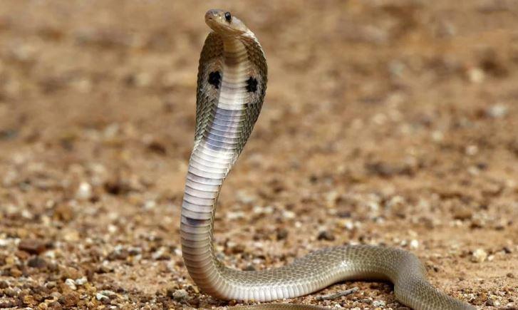 Indian cobra genome could lead to better anti-venom