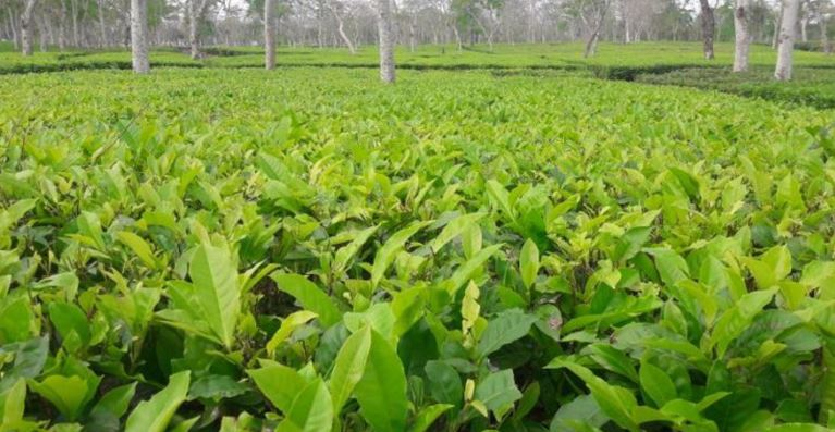 Provide financial package for small tea growers: All Assam Small Tea Growers' Association (AASTGA)