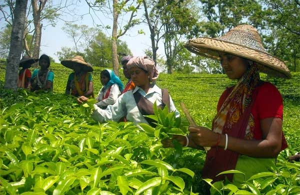 Nationwide Lockdown: Leaf plucking starts in tea gardens of Tripura