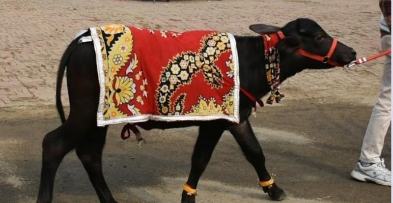 A 'mundan' ceremony  for a buffalo calf in Uttar Pradesh