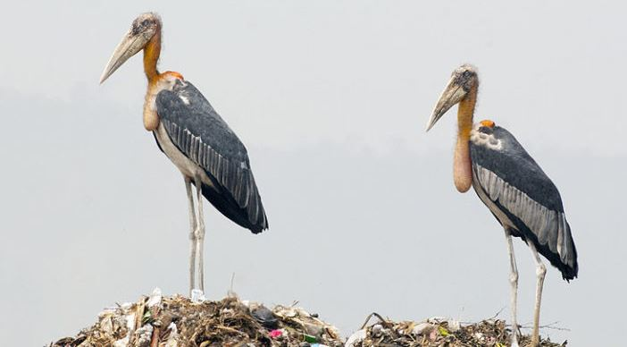 Researchers found Lesser adjutant storks now multiplying in vacant fields