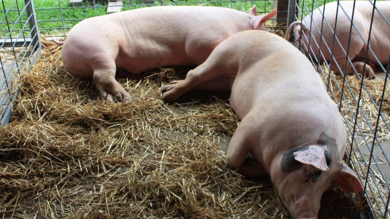 African Swine Fever' affecting pigs in Assam might have come from ...