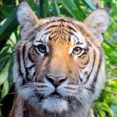 Coronavirus update: Tiger tests positive at Bronx Zoo in New York, United States
