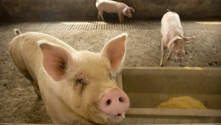 262 piglets imported from UK by NLM for NE States quarantined in Delhi